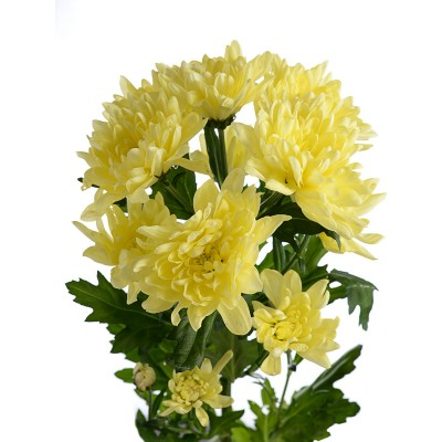 Хризантема кустовая